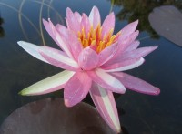 Nymphaea Pink Dawn