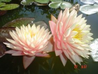 "Nymphaea ""Blushing Bride"""