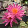 Nymphaea Tropic Star