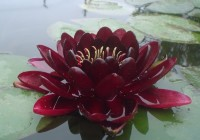 Nymphaea 'Black Princess'