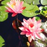 Nymphaea Peaches and Cream